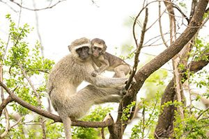 Volunteer abroad and save monkeys in South Africa