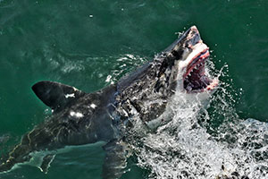 White shark jumps of the water