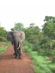 Elefante em Gana