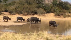 Big Five Conservation South Africa - Buffalos