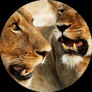 Conservação de leões