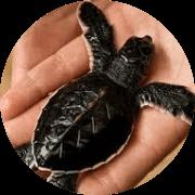 Sri Lanka Tartarugas marinhas