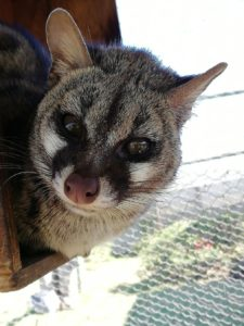 Imane Animal Volunteering in South Africa: Genet