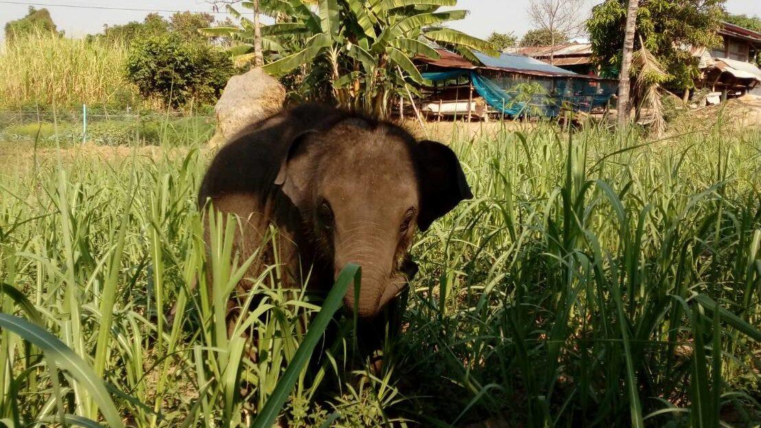 Preservação de elefantes