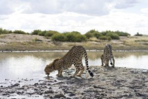 Volunteer in Namibia to help or Animal Conservation programs